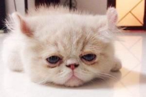 小猫天天流眼泪怎么回事