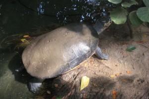 下蛋也得坚持交际间隔巨型侧颈龟团体上岸筑巢却惨遭活埋